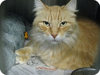 Domestic Mediumhair Cat for adoption in Voorhees, New Jersey - Tigger