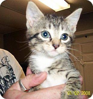 Domestic Shorthair Kitten for adoption in Marble, North Carolina - Tabasco