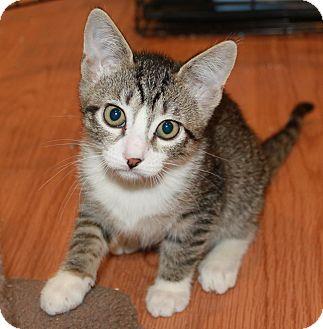 Domestic Shorthair Kitten for adoption in Irvine, California - Delilah