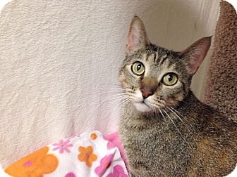 Domestic Shorthair Cat for adoption in Foothill Ranch, California - Raina
