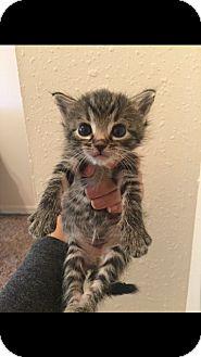 Domestic Shorthair Kitten for adoption in Yukon, Oklahoma - Andrea's little Arnie