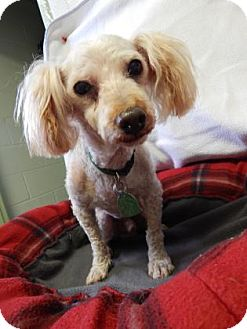 Poodle (Miniature) Mix Dog for adoption in The Dalles, Oregon - Snickers