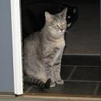 Domestic Shorthair Cat for adoption in Duluth, Georgia - Gracie