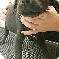 Adopt A Pet :: Glenn (Walking Dead pup) - Cumming, GA