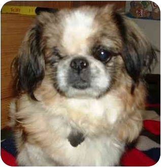 Pekingese Dog for adoption in Portsmouth, Rhode Island - Pumpkin