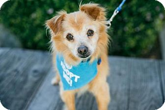 Pomeranian Mix Dog for adoption in Pacific Grove, California - BB King
