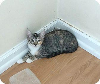 Domestic Shorthair Kitten for adoption in Plantsville, Connecticut - Kaylee