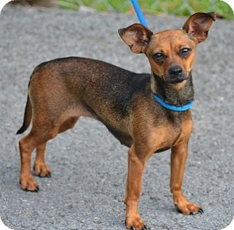 Chihuahua Mix Dog for adoption in Beacon, New York - Eden