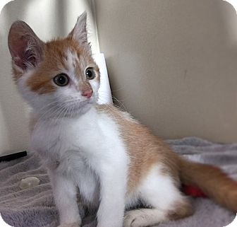 Domestic Shorthair Kitten for adoption in Gahanna, Ohio - Zach