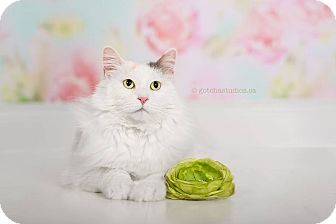 Domestic Mediumhair Cat for adoption in THORNHILL, Ontario - Wanda