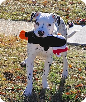 American Bulldog/Pointer Mix Puppy for adoption in Reisterstown, Maryland - Charlie