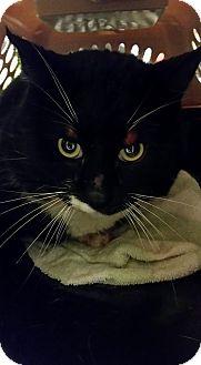 Domestic Shorthair Cat for adoption in Hinton, Alberta - Barn Cat 2