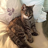 Domestic Shorthair Cat for adoption in San Jose, California - Daisy