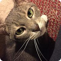 Adopt A Pet :: Bridget Bardot - St. Louis, MO