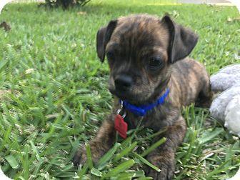 Dachshund/Chihuahua Mix Puppy for adoption in Arlington, Texas - Bud