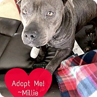 Pit Bull Terrier Mix Dog for adoption in Spring, Texas - Millie