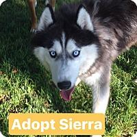 Adopt A Pet :: Sierra - Davis, CA