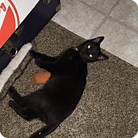 Adopt A Pet :: Midnight - Louisville, KY