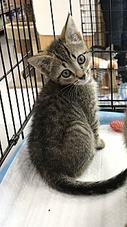 Domestic Shorthair Kitten for adoption in Old Bridge, New Jersey - Collin