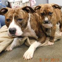 Adopt A Pet :: Nina - Owensboro, KY