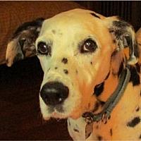 Adopt A Pet :: Dotty - Adelphi, MD