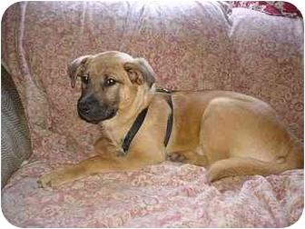 Shepherd (Unknown Type)/Labrador Retriever Mix Puppy for adoption in Nashville, Tennessee - Toya