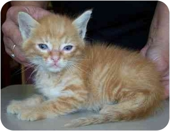 Domestic Mediumhair Kitten for adoption in North Judson, Indiana - Morris