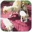 Photo 2 - Dachshund/Chihuahua Mix Puppy for adoption in El Cajon, California - little brown boy