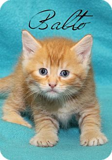 American Shorthair Kitten for adoption in Albert Lea, Minnesota - Balto