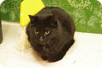 Domestic Shorthair Cat for adoption in Elyria, Ohio - Tasha