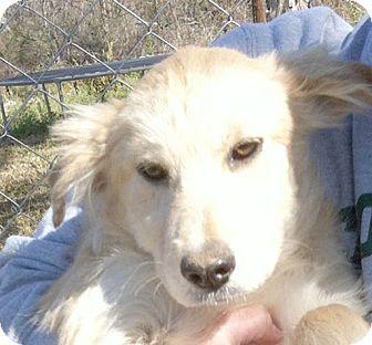 Golden Retriever/German Shepherd Dog Mix Puppy for adoption in Preston, Connecticut - Sophie