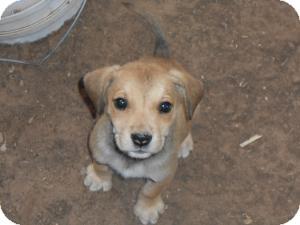 Labrador Retriever Mix Puppy for adoption in Post, Texas - Sailor