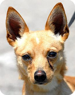 Chihuahua/Rat Terrier Mix Dog for adoption in New Haven, Connecticut - SMIDGET