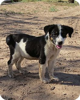 Australian Cattle Dog Mix Puppy for adoption in Snyder, Texas - Tess