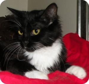 Domestic Mediumhair Kitten for adoption in Medford, Massachusetts - Alpine