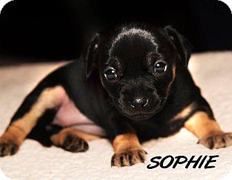 Chihuahua/Dachshund Mix Puppy for adoption in Bridgeton, Missouri - Sophie-Adoption pending