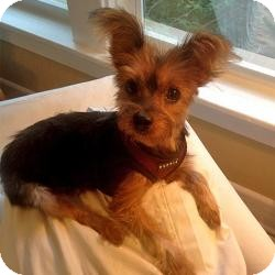 Yorkie, Yorkshire Terrier Dog for adoption in West Palm Beach, Florida - Snickers