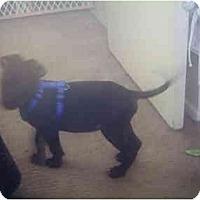 Adopt A Pet :: Mercades - Flint (Serving North and East TX), TX