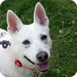 Shepherd (Unknown Type)/Husky Mix Dog for adoption in Eatontown, New Jersey - Angel