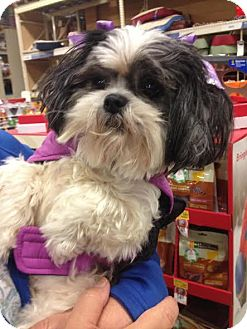 Shih Tzu Dog for adoption in PLAINFIELD, Indiana - MIA