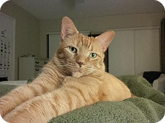Domestic Shorthair Cat for adoption in Burlington, Ontario - Teegan