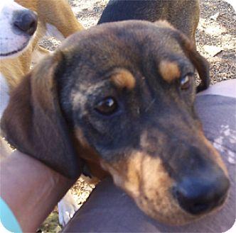 Beagle/Hound (Unknown Type) Mix Dog for adoption in El Cajon, California - Shauna