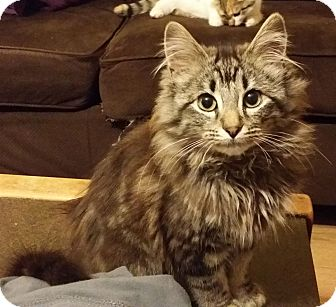Domestic Longhair Kitten for adoption in Knoxville, Tennessee - Magnus