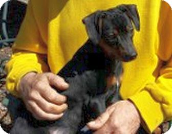 Miniature Pinscher Mix Puppy for adoption in Chattanooga, Tennessee - Cain