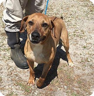 Labrador Retriever/German Shepherd Dog Mix Dog for adoption in Sharon, Connecticut - Hank