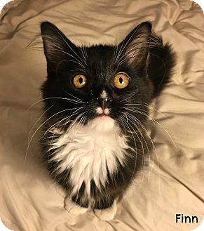 Domestic Longhair Kitten for adoption in Chattanooga, Tennessee - Finn