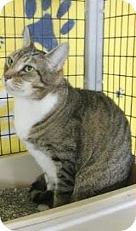 Domestic Shorthair Cat for adoption in Wilmington, North Carolina - CANDY MAN