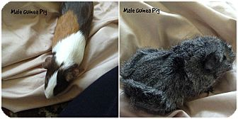 Guinea Pig for adoption in Siler City, North Carolina - Male Guinea Pigs