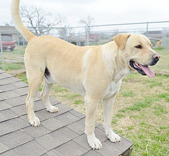 Labrador Retriever Mix Dog for adoption in Iola, Texas - Buddy