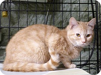 Domestic Shorthair Cat for adoption in Monterey, Virginia - Molly